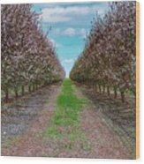 Almond Trees Of Button Willow Wood Print