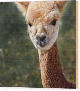 Alpaca Wood Print
