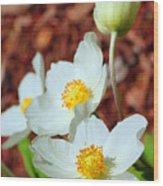 Alpine Pasqueflower Wood Print