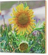 Alpine Sunflower In Summer Wood Print