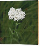 Alpine Yarrow Wildflower 1 Wood Print