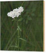 Alpine Yarrow Wildflower 2 Wood Print