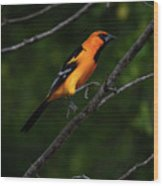 Altamira Oriole - Limb Hopping Wood Print