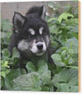 Alusky Pup Peaking Out Of Green Foliage Wood Print