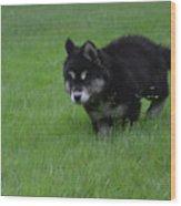 Alusky Puppy Creeping Through Green Grass Wood Print