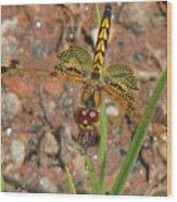 Amanda's Pennant Dragonfly Female Wood Print
