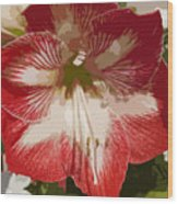 Amaryllidaceae Hippeastrum Stargazeramarylllis Wood Print