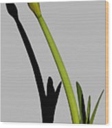 Amaryllis And Shadow Wood Print