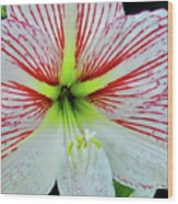Amaryllis Beauty Wood Print