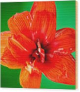 Amaryllis Contrast Orange Amaryllis Flower Appearing To Float Above A Deep Green Background Wood Print