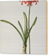 Amaryllis Curvifolia Wood Print by Pierre Redoute