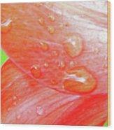Amaryllis Dew Drops Wood Print