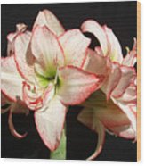 Amaryllis Group Wood Print