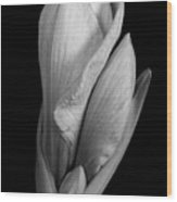 Amaryllis In Black And White Wood Print