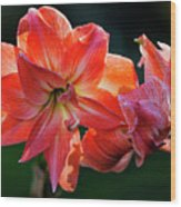 Amaryllis In February 5472 Wood Print