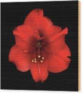 Amaryllis Red Wood Print