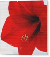 Amaryllis Square Wood Print