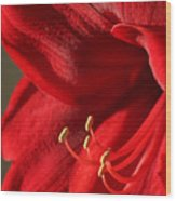 Amaryllis6689 Wood Print