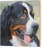 Amazing Bernese Mountain Dog Wood Print