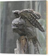 Amazing Frogmouth Bird With His Wings Extended Wood Print