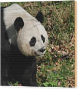 Amazing Giant Panda Bear Sitting In A Grass Field Wood Print
