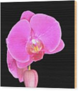 Amazing Pink Orchid With Black Background Orquidea Wood Print