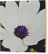 Amazing White African Daisy Wood Print
