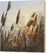 Amber Waves Of Pampas Grass Wood Print