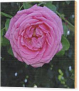 America Climbing Rose Wood Print