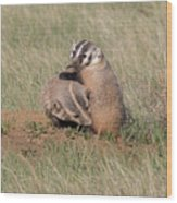 American Badger Cub Climbs On Its Mother Wood Print