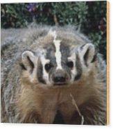 American Badger On Alert Wood Print