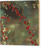 American Barberry With Raindrops Wood Print