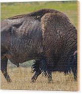 American Bison - Antelope Island - Utah Wood Print