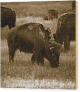 American Bison Grazing - Bw Wood Print