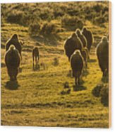 American Bison Sunset March Wood Print
