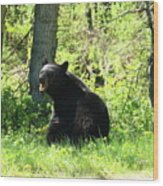American Black Bear Wood Print