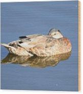 American Black Duck Snoozing Wood Print