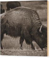 American Buffalo Grazing Wood Print