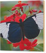 American Butterfly Wood Print
