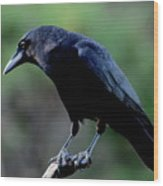American Crow In Thought Wood Print