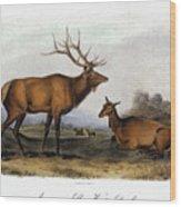 American Elk, 1846 Wood Print