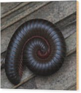 American Giant Millipede Wood Print by April Wietrecki Green