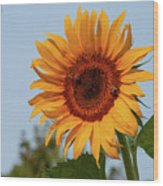 American Giant Sunflower In The Morning Wood Print
