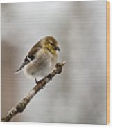 American Golden Finch Winter Plumage 1 Wood Print