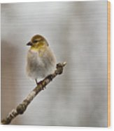 American Golden Finch Winter Plumage 4 Wood Print