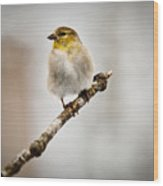 American Golden Finch Winter Plumage 6 Wood Print