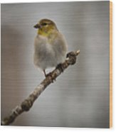 American Golden Finch Winter Plumage Wood Print