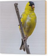 American Goldfinch Front Wood Print