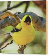 American Goldfinch On Aspen Wood Print