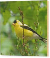 American Goldfinch Sittin' In A Tree Wood Print